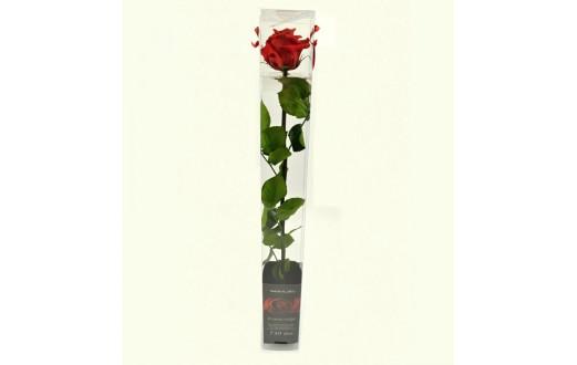 Rose in case