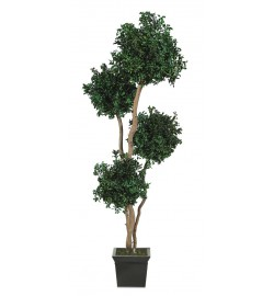 Pittosporum tenuifolium 4 balls tree