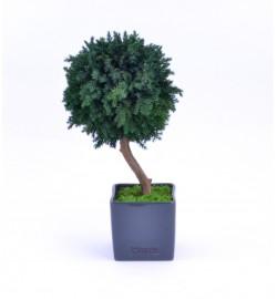 Arrangement tree Juniperus
