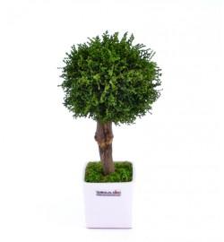 Arrangement tree Stoebe