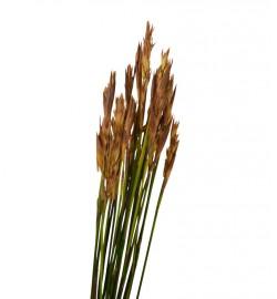 Cape grass